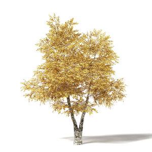 3D model silver birch 5 8m