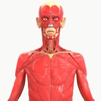 body muscle anatomy 3D model