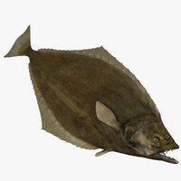 3D atlantic halibut