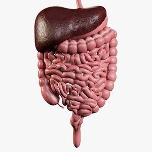 3D model man digestive organized