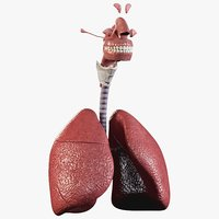 3D model man respiratory organized