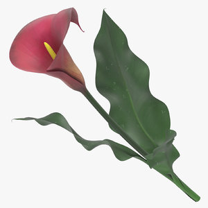 3D zantedeschia red - model
