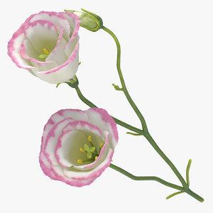 3D eustoma white pink - model