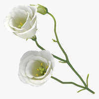eustoma white - 3D model