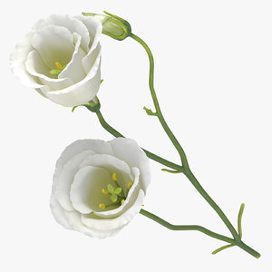 eustoma white - 3D model