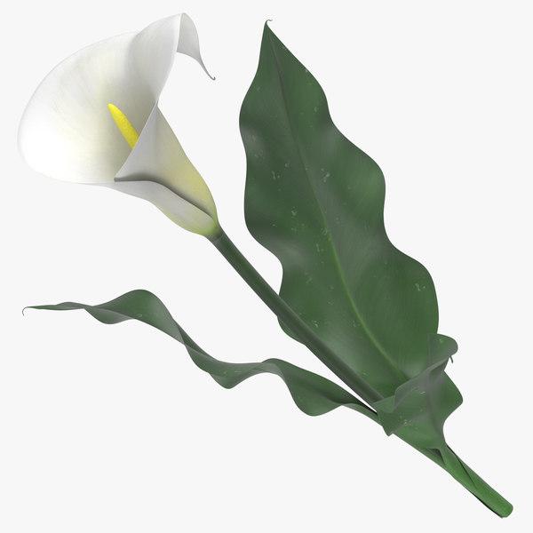 zantedeschia white - 3D