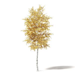3D silver birch 3 3m model