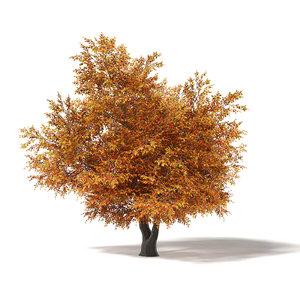 common oak 8 7m 3D model