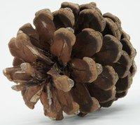 Realistic - Pine Cone