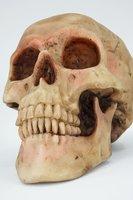 Realistic - Human Skull