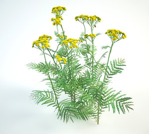 tansy tanacetum vulgare 3D model