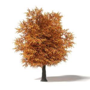 3D common oak 7m