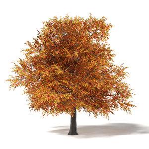 3D common oak 6m