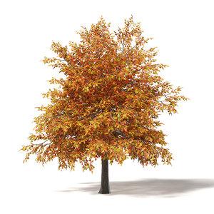 3D common oak