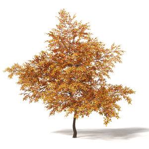 common oak 7 3m 3D