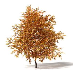 common oak quercus 3D model