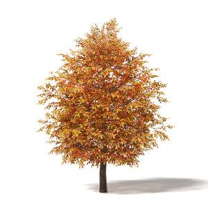 common oak 5 3m 3D model