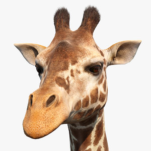 african giraffe fur model