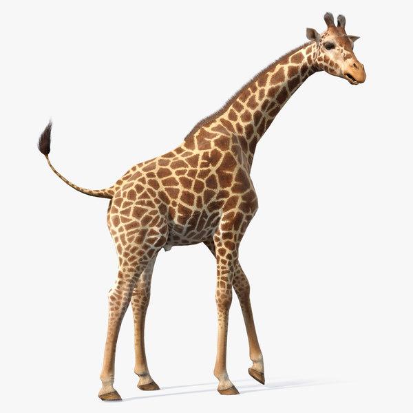 3D african giraffe fur rigged