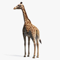 Giraffe Standing Pose Fur 3D Model