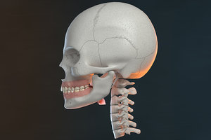3D model skull v-ray bones anatomy
