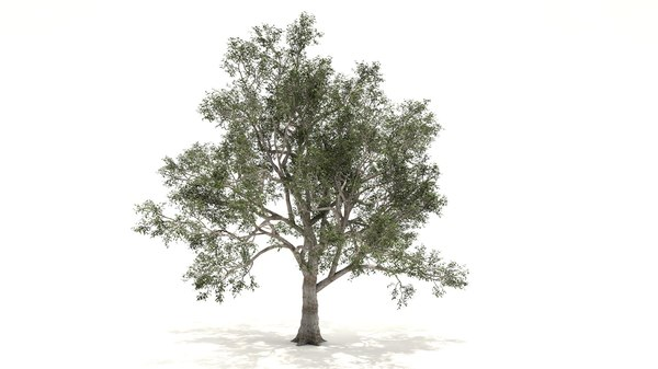 sycamore tree 3D