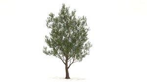 tupelo tree 3D