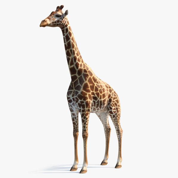 3D african giraffe
