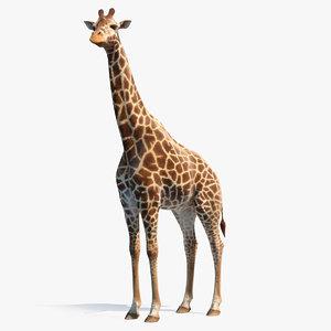african giraffe standing pose 3D