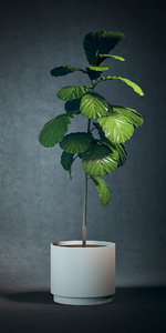 potted fig tree 3D