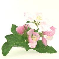 apple flower pink model