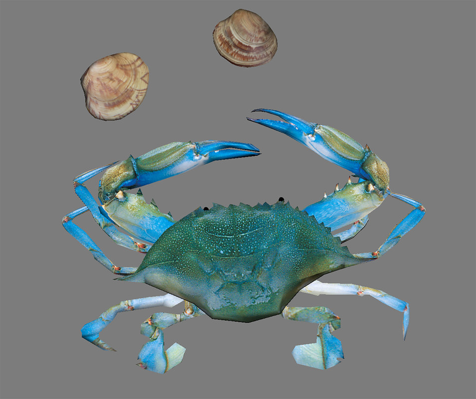 blue crab clams 3D