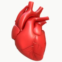 modeled human heart 3D