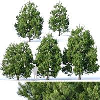 Pinus sylvestris #2 H3.3-6.5m