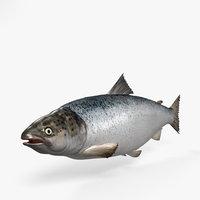 3D atlantic salmon salmo model