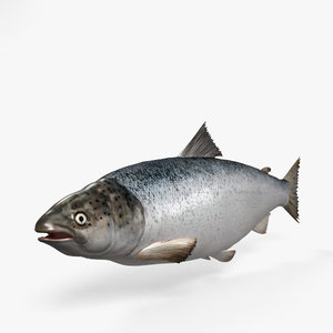 3D atlantic salmon salmo model