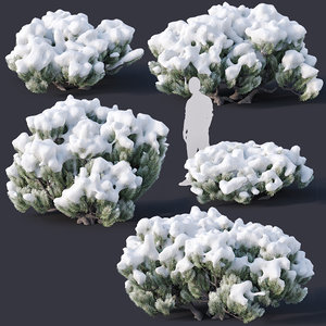 pinus mugo snow tree 3D model