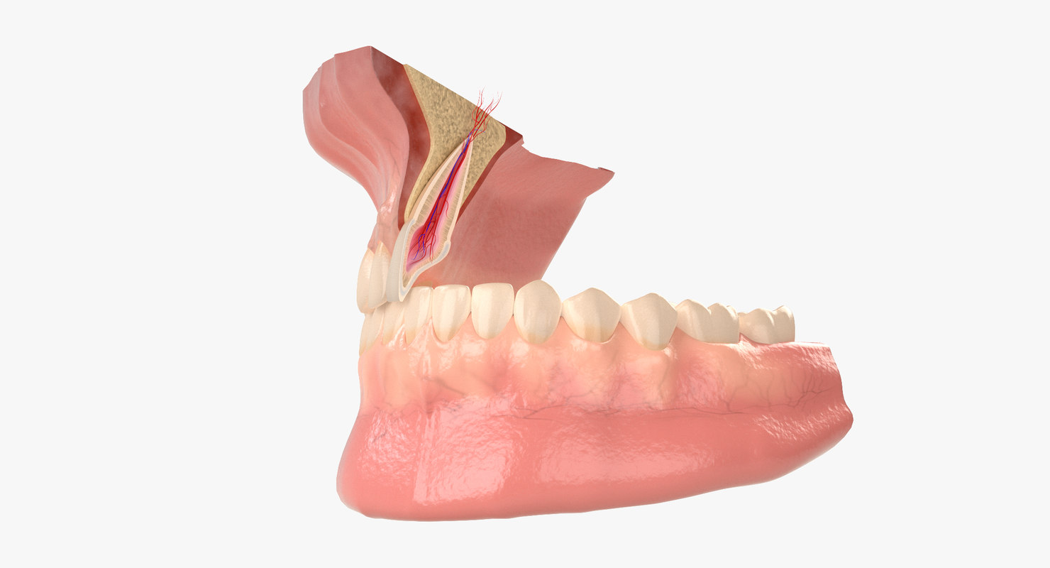 incisor section - model