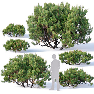 3D model pinus mugo tree cm