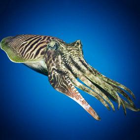 cuttlefish animation octane 3D