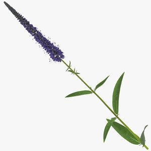 3D veronica longifolia purple - model