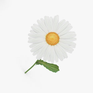 3D daisy flowers plant