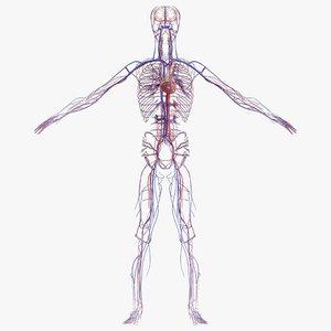 3D male cardiovascular