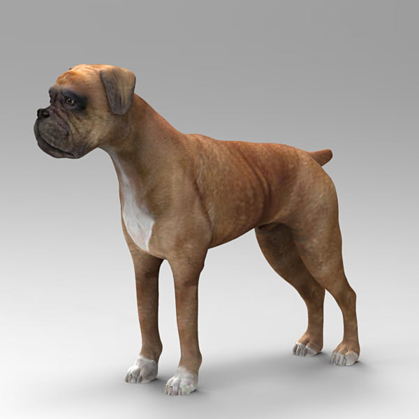 boxer dog animal model