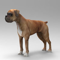 boxer dog animal model