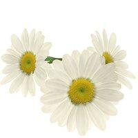 Daisy chamomile flower