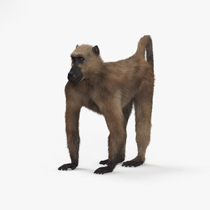 chacma baboon 3D model