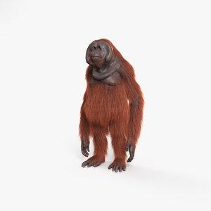 3D orangutan primate mammal model