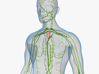 3D model human lymphatic medical