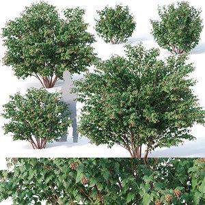 3D physocarpus opulifolius cm model